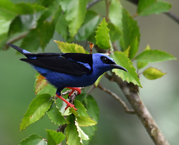 Red Legged Honeycreeper 2, Gamboa, Panama
