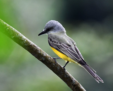 Tropical Kingbird, Soberania, Panama