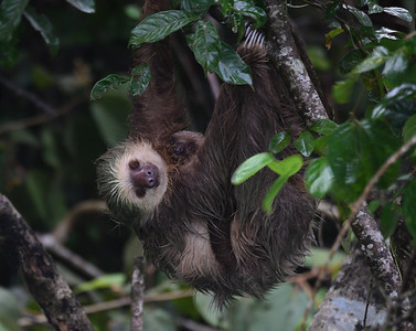 Two Toed Sloth 1, Soberania, Panama