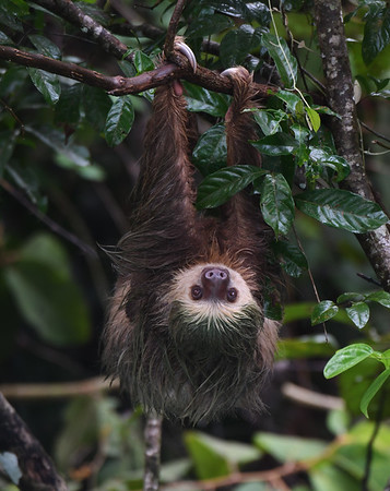 Two Toed Sloth 2, Soberania, Panama
