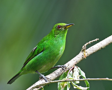 Green Honeycreeper, Female, Gamboa, Panama