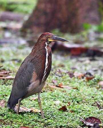 Rufescent Tiger Heron 3, Gamboa, Panama