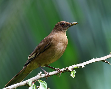 Clay Colored Thrush, Gamboa, Panama