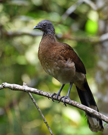 Gray Headed Chachalaca, El Valle De Anton, Panama