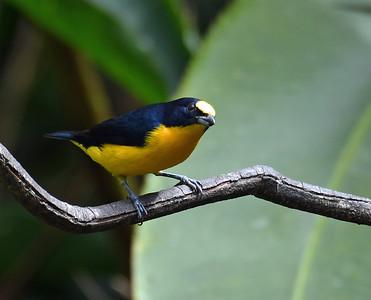 Thick Billed Euphonia 2, El Valle De Anton, Panama