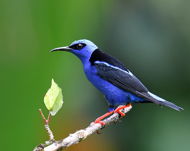 Red Legged Honeycreeper 1, Gamboa, Panama
