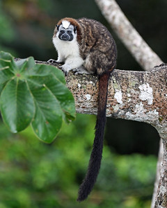 Tamarin Monkey 1, Gamboa, Panama