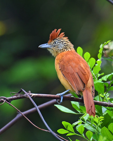 Barred Antshrike, Female, El Valle De Anton, Panama