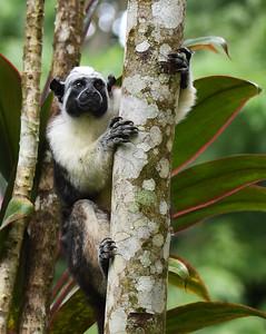 Tamarin Monkey 2, Gamboa, Panama