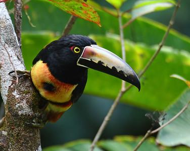 Collared Aracari 3, El Valle De Anton, Panama