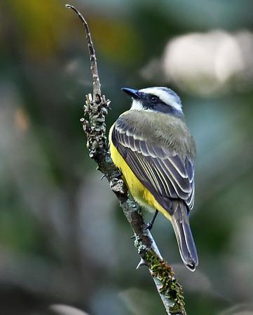 Social Flycatcher 1,  El Valle De Anton, Panama
