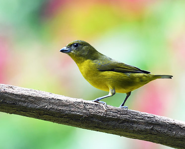 Thick Billed Euphonia, Female, El Valle De Anton, Panama