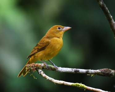 Summer Tanager 4, Female, El Valle De Anton, Panama