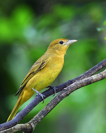 Summer Tanager 5, Female, Gamboa, Panama
