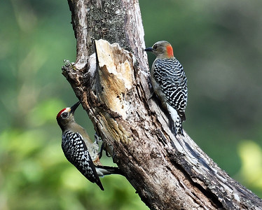 Red Crowned Woodpecker Pair, El Valle De Anton, Panama