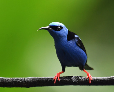 Red Legged Honeycreeper 3, Gamboa, Panama