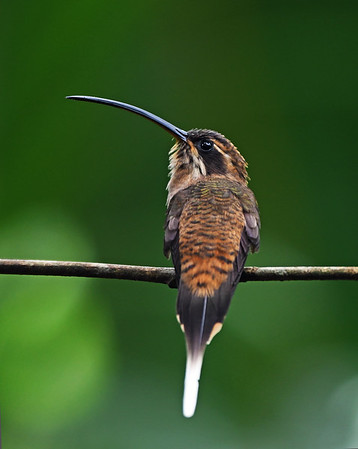 Long Billed Hermit, Soberania, Panama
