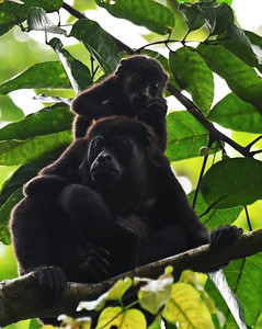 Howler Monkey and Young, Soberania, Panama
