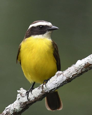 Rusty-margined Flycatcher, Sobernia, Panama