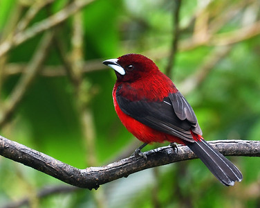 Crimson Backed Tanager 2, El Valle De Anton, Panama
