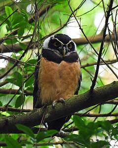 Spectacled Owl, El Valle De Anton, Panama