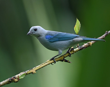 Blue Gray Tanager, Gamboa, Panama