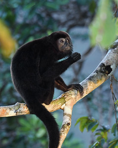 Howler Monkey, Soberania, Panama