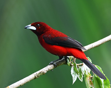 Crimson Backed Tanager, El Valle De Anton, Panama