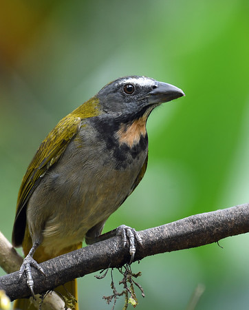 Buff Throated Saltator, Soberania, Panama
