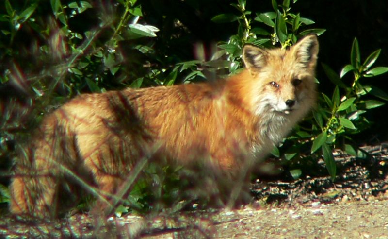Fox at South Coast Botanical Gardens, Palos Verdes, CA, Jan 15 2005.