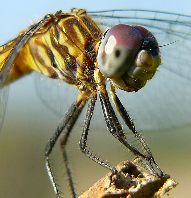 Meadowhawk dragonfly macro taken with FZ10 plus Nikon 6T.