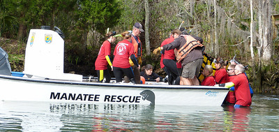 Manatee Rescue at Three Sisters Spring. February, 2012.