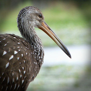 Young Limpkin. Lake Henderson. Inverness, Florida.