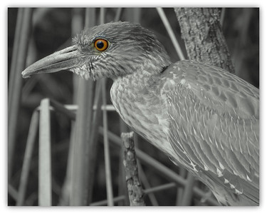 Heron. Filtered Black and White in Picasa 3.