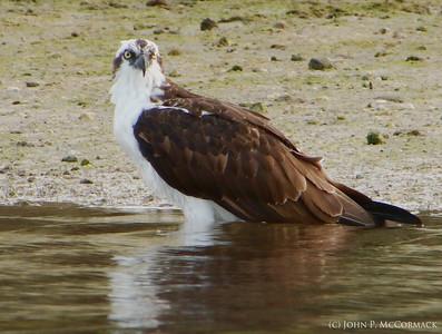 Osprey Wading on the Shoreline. Crystal River National Wildlife Refuge.