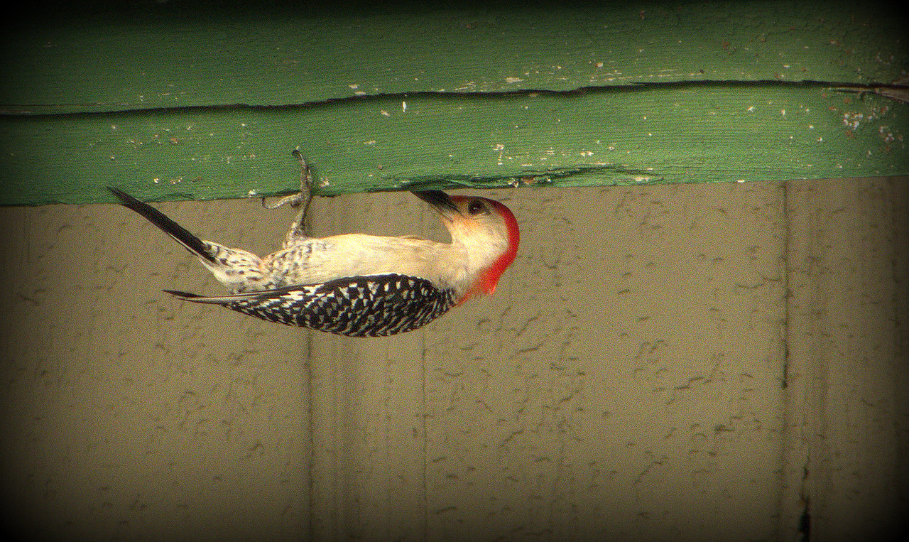 Woodpecker at work on the old train station