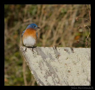 Bluebird checking out a nesting box