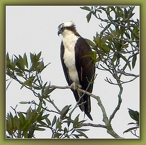 osprey perching almost 1/4 mile away. Shot in EZ optical zoom at 3 MP. FZ150.
