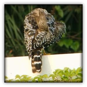 Camera shy hawk