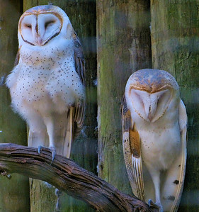 Barn Owls. Homosassa Springs Wildlife State Park. Homosassa, Florida