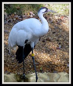 Whooping Crane. Homosassa Springs Wildlife State Park. Homosassa, Florida