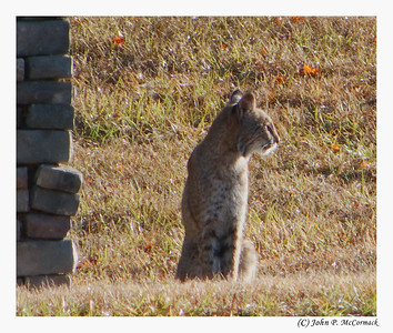 Resident bobcat checks out the scene on Beckett Court. Canterbury Lake Estates.