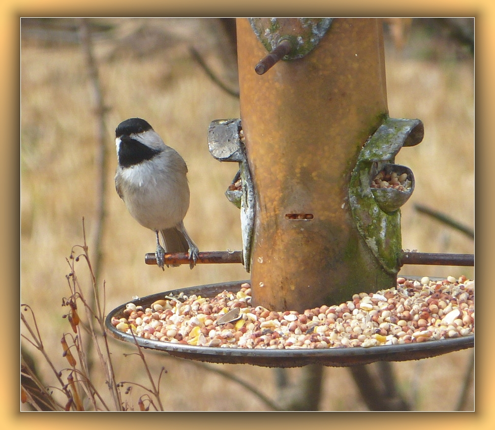 Black Capped Chickadee at the feeder