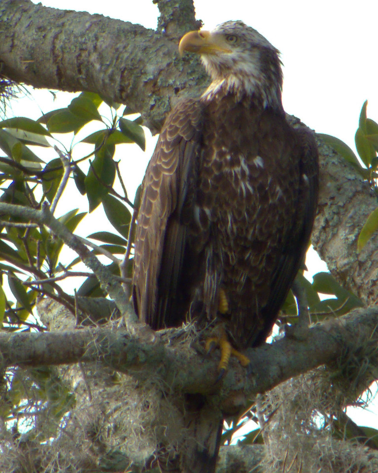 young eagle.