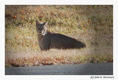 Resident bobcat checks out the scene on Beckett Court. Canterbury Lake Estates.