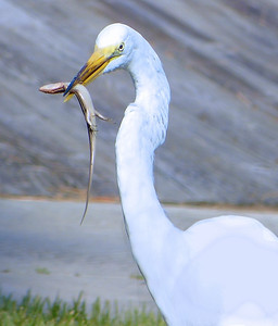 Great American Egret With Skink