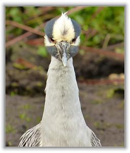 Beady eyed heron