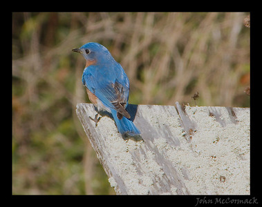 Bluebird checking out a nesting box