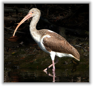 young brown ibis