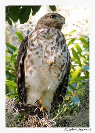 Hawk at King's Bay